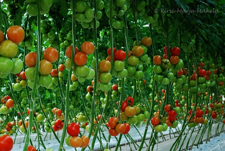 Murajan herkulliset tomaatit murajantila.blogspot.com
