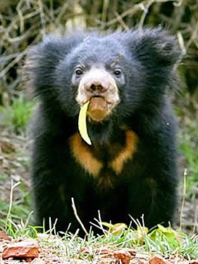 The sloth bear .  The origin of their name isn't totally certain. One theory is that early explorers named them after seeing them hanging upside down from trees, similar to actual sloths. Another is that they were named after the slow wandering manner in which they walk.