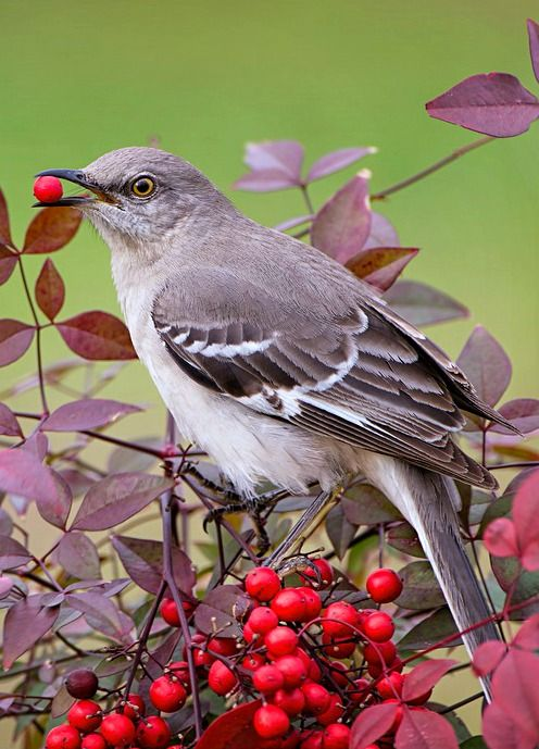 Northern Mockingbird (Mimus polyglottos). The only mockingbird commonly found in North America. photo: BonBarry.