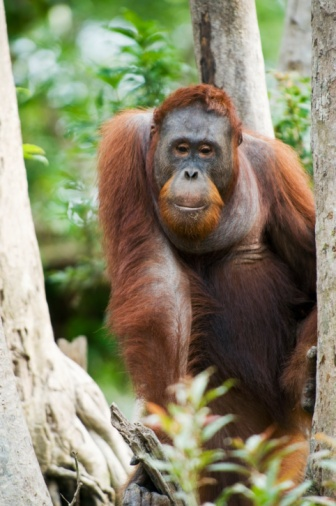 orangutan means Man of the Forest Boycott palm oil, exotic woods & do not tolerate the selling of them as pets!