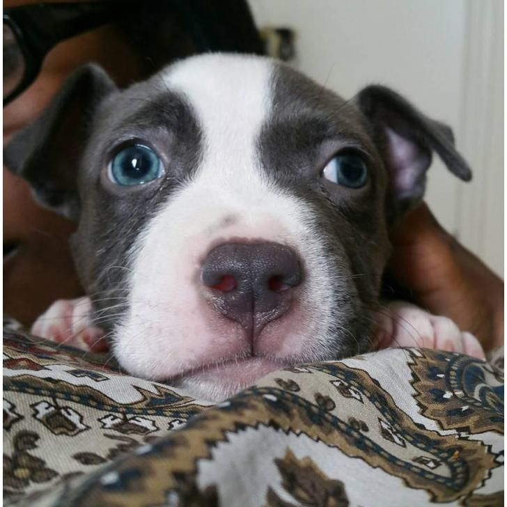 blue bully pitbull puppies for sale best 10 pitbull puppies for sale ideas on pinterest 5427