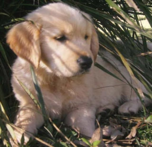 Golden Retriever dogs and puppies