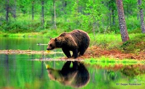 Finland bear on Eastern border
