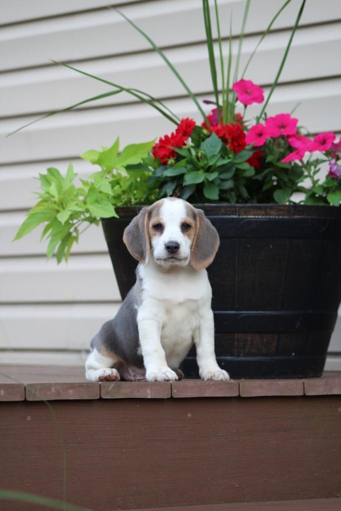 Meet Buddy A Friendly Beagle He Is A Beautiful Silver