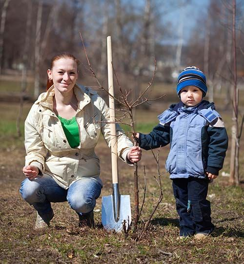 When you begin planting apple trees, follow these rules to improve your chances of success.