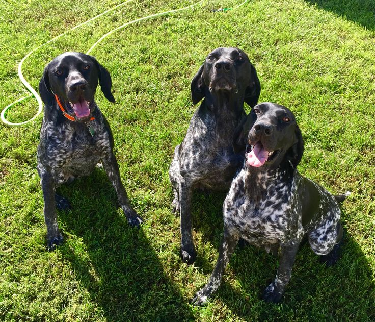 Mum and pops and son.... Black GSP