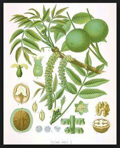 propiedades medicinales nogal