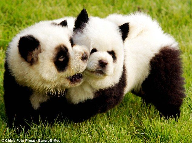 I am not sure how I never heard of this before today, but there is a trend in China to dye dogs like Pandas! I need a white Chow stat.