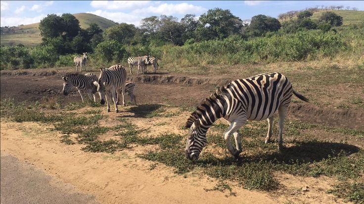 Zebras - South Africa