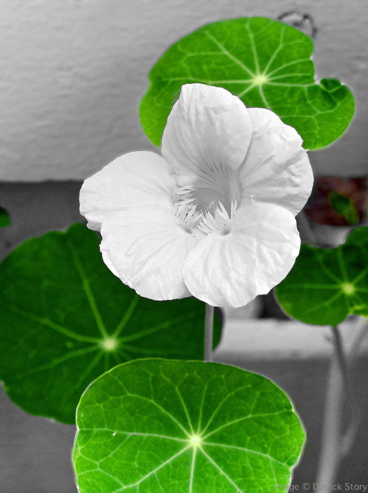 Unexpected Nasturtium - I converted the image to Black and White in Aperture, then brushed a little color back in. Easy technique that often delights the viewer's eye.