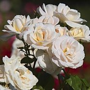 Rose White Spray Floribunda