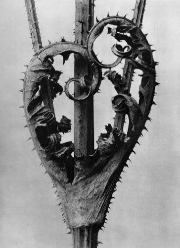 Karl Blossfeldt Dipsacus laciniatus, Cut-leaved teasel, 4x