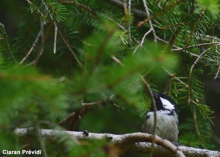 Photo de Ciaran Prévidi : Mésange noire (Periparus ater), une espèce qui apprécie les conifères.  #ornithologie   #oiseaux   #nature