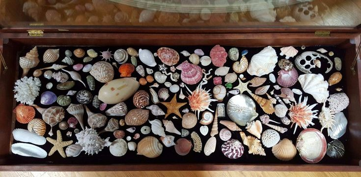 Seashells look striking when placed in a glass display case.