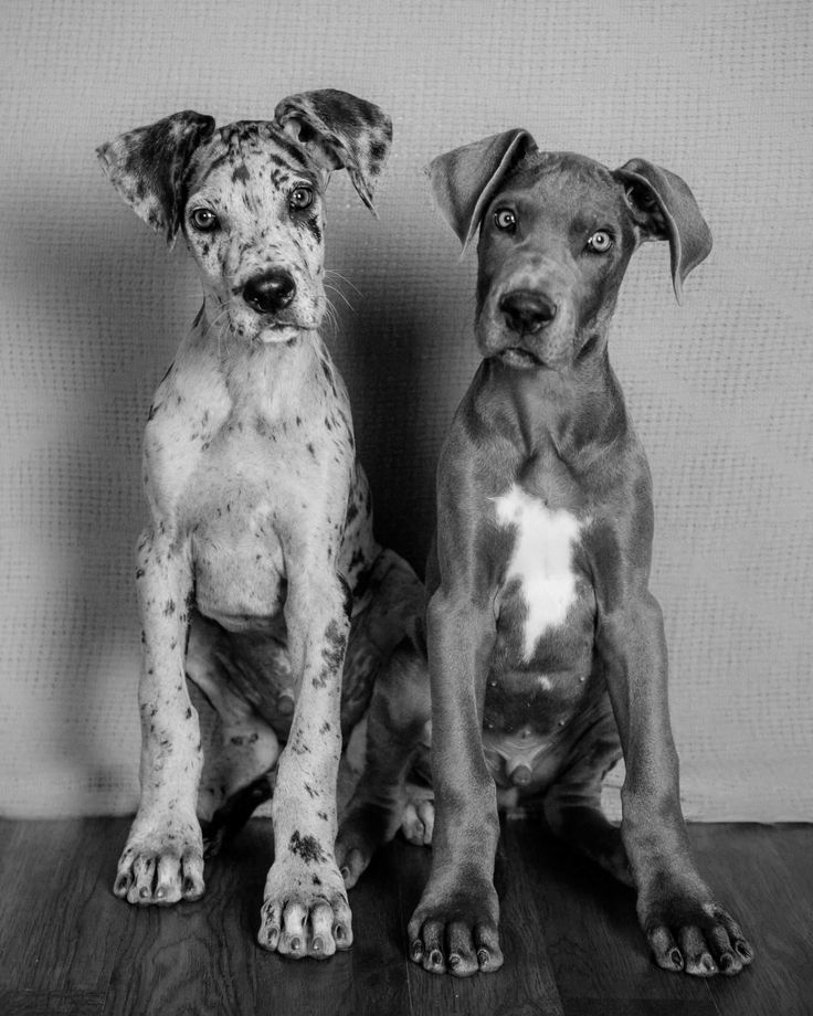 Two Great Dane Puppies Would Make A Great Pencil Drawing Great