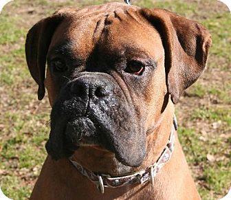 adopted !! Austin, Arkansas Boxer. Meet B J a Dog w
