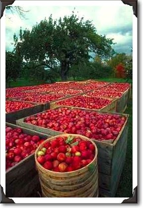 Nova Scotia apples -the best in the world, and our Annapolis Valley tops the province!