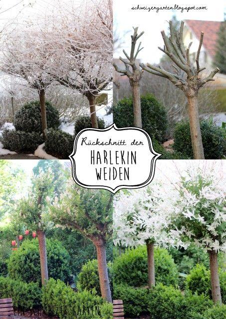 Harlekinweide, Flamingoweide, salix integra, hakuro nishiki, Kugelweide, kleiner Baum, Austrieb nach Rückschnitt, Harlekinweide schneiden, Frühling, Ein Schweizer Garten Blog,