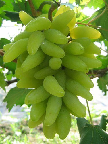 'Gold Finger' elongated green grapes
