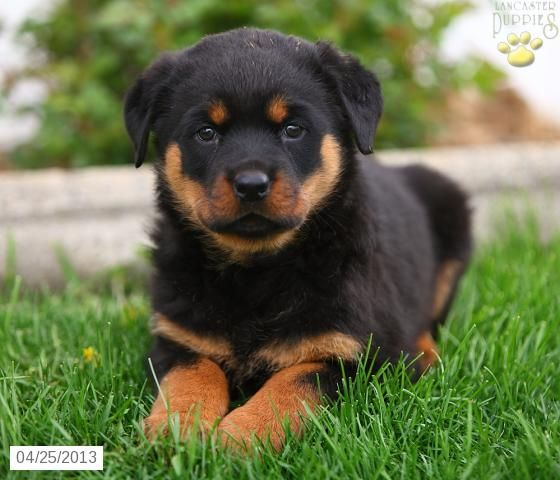 Mini Rottweiler – Quotes of the Day