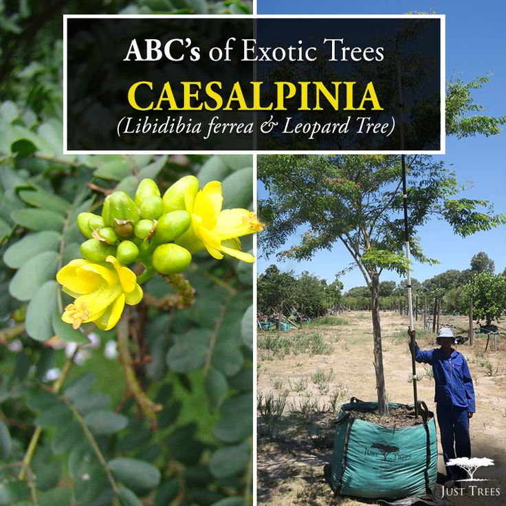 ABC's of Exotic Trees continue with the Caesalpinia ferrea (now known as the Libidibia ferrea). Also known as the Leopard Tree, this tree is originally from Brazil and Bolivia. This evergreen can reach up to 15m and has a broad, flat-topped crown. It makes an attractive feature tree with its ornamental patterned bark, which is the reason behind its common name 'Leopard Tree'. With acacia-like foliage, this tree produces a beautiful yellow flower in the summer.