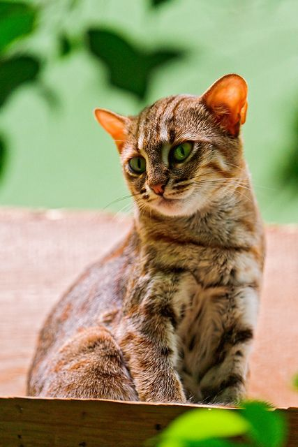 the Rusty Spotted cat is the smallest of the wild cats and found only in India and Sri Lanka.  Cute rusty cat by Tambako the Jaguar on Flickr.
