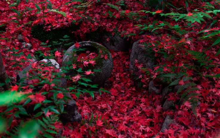 Обои Япония, Киото, осень, клён японский, папоротник, камни, мох на рабочий стол
