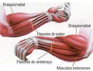 Músculos antebraços                                                                                                                                                                                 Mais