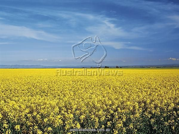 Photographic Print; Canola crop in the Clare Valley, South Australia