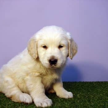 Look at this cute, adorable face! #SpringPromotion  ☞ https://newdoggy.com/puppies-and-dogs-for-sale/