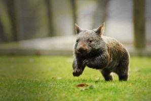 Oh wombats - we love our Ballarat Wildlife Park ones!