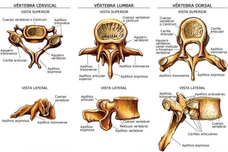 Columna vertebral: una obra de ingeniería http://blgs.co/p9KVgJ