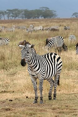 The plains zebra (Equus quagga, subspecies Grant's zebra pictured) is the most common and geographically widespread species of zebra.