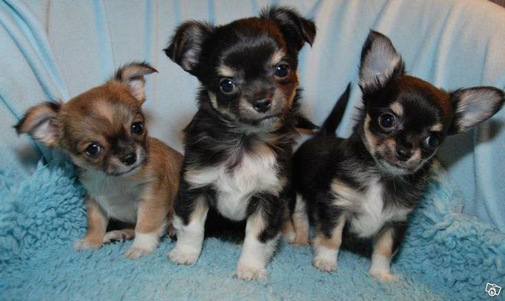 Renrasiga Chihuahua valpar med stamtavla   Stockholm