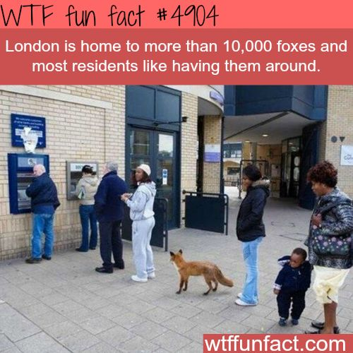 Foxes in London - WTF fun facts
