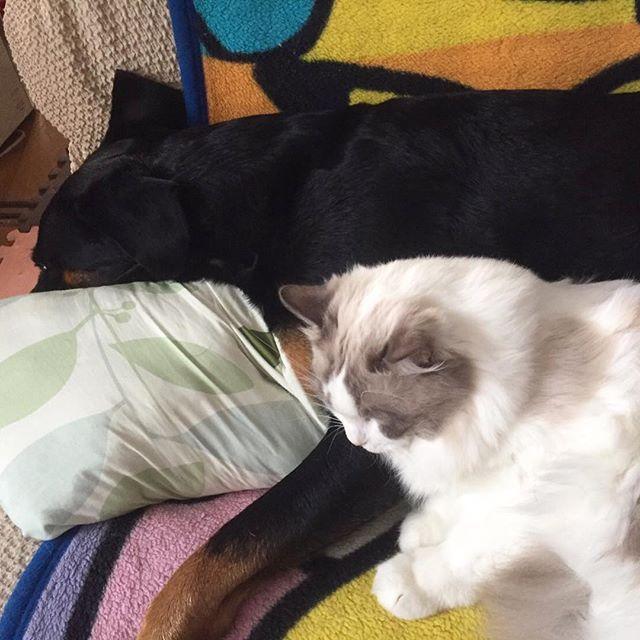ルナ姉さんにくっついて寝てる〜❤️✨ 今年は、小春ルナマシューをありがとうございました‼️ 来年もどうぞよろしくお願いします✨ #ラグドール #Ragdoll #猫 #ねこ #犬と猫 #cat #instragdoll #instacat #catanddog #insta #good #cute #nyan  #love #catlove #ペコねこ部 #愛猫 #ニャンスタグラム #ねこ部 #みんねこ #にゃんだふるらいふ #犬 #マシュー #nyaspaper #ロットワイラー#モデル #美猫 #くっつく #2016