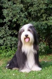 Bearded Collie - Colley Barbu Raza británica. Es un perro magro y activo, su cuerpo medido desde el vértice del antepecho a la punta de la grupa es más largo que su altura en una proporción aproximada de 5 a 4.  Las hembras pueden ser Iigeramente más largas.