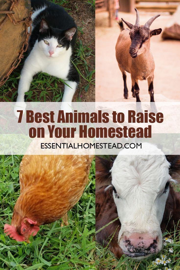 7 Best Homestead Animals Raising Farm Animals Animals Sheep Farm
