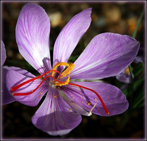 La flor del azafrán da hasta 3 hebras.