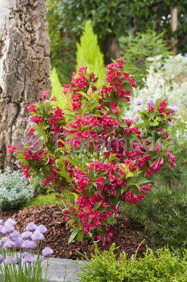 Krzewuszka cudowna Red Prince   Weigela florida  - Krzewy liściaste - K-N - Florini.pl - Florini.pl