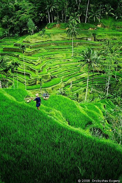 Ahh, I miss this way to much! Please take me back  Rice terrace, near Ubud, Bali #Tegallalang