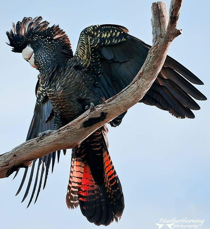 Cacatua nero magnifico - Red-tailed Black-cockatoo - Calyptorhynchus magnificus