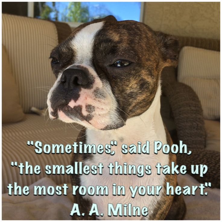 Sometimes, said Pooh, the smallest things take up the most room in your heart <3 A.A. Milne Meme Boston Terriers do just that! Nothing like BT love!