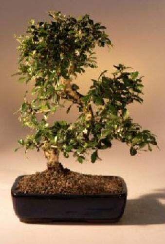 Large Fukien Tea Bonsai Tree with Curved Trunk :: Indoor Bonsai Trees