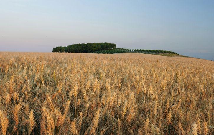 Campi di Grano - Fields of Grain in the Monferrato - Casorzo