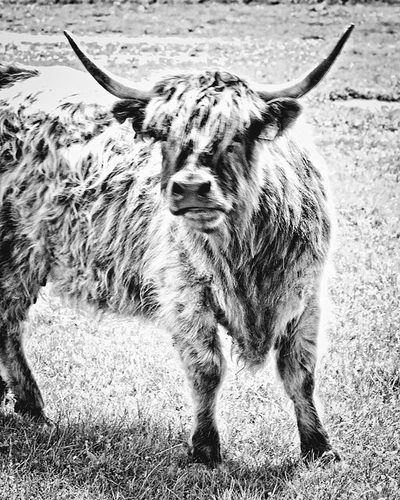 bwstock.photography - photo | free download black and white photos  //  #bull