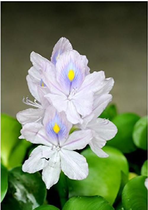 Water Hyacinth Eichornia Crassipes Blue Flowers Floating Live Pond Plant