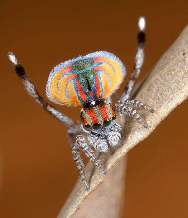 araignee paon 07 603x700 Les araignées paon sauteuses  video technologie photo information bonus