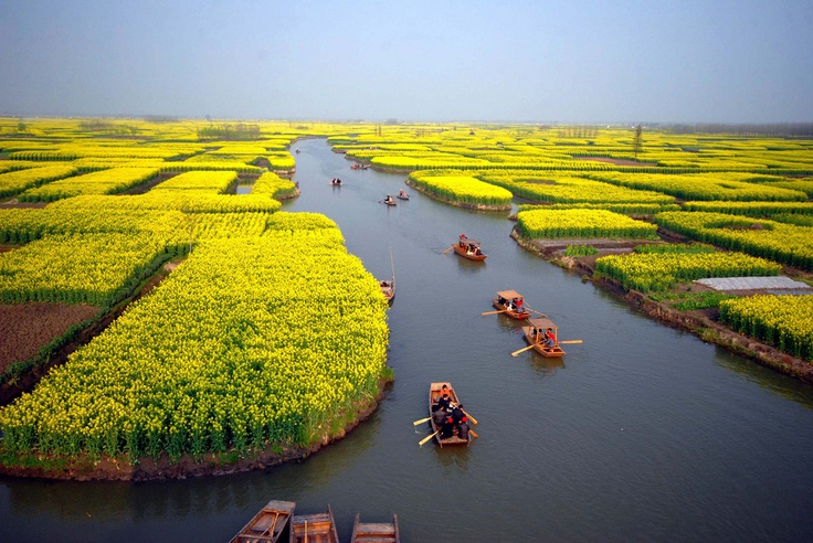 Canola Fields Quotes: Rapeseed Fields, Near Xinghua, Jiangsu, China