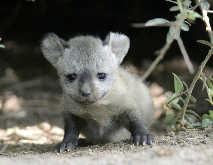 Bat-eared fox kits stealing hearts at Zoo Krefeld. Photo Hella Hallmann